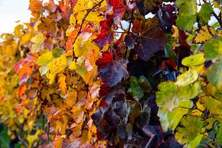 Vine leaves 01