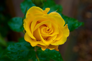 Yellow rose ii