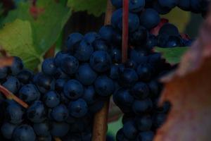 Blue grapes 2