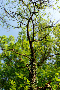 Green trees ii
