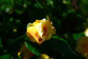Yellow rose color